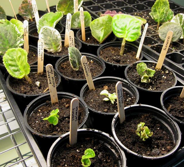 Выращивание сенполии из семян в домашних условиях 17