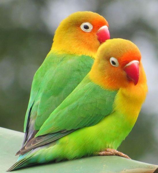 Сколько живут попугаи 53