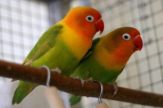 Сколько живут попугаи 51