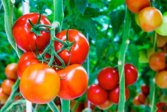 Посадка помидор в открытый грунт.  Схемы.  Для высокорослых: между...