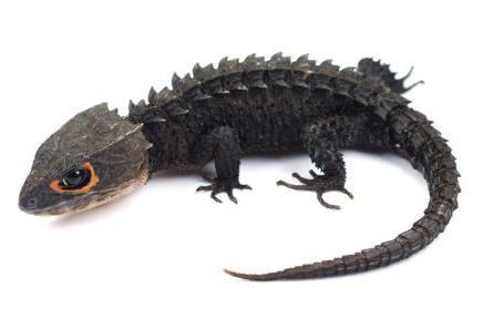 крокодиловый сцинк содержание