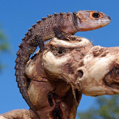крокодиловый сцинк содержание и уход