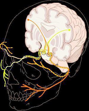 лицевой нерв анатомия схема