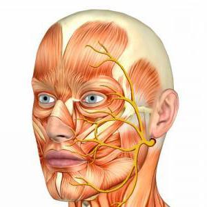 схема хода волокон лицевого нерва