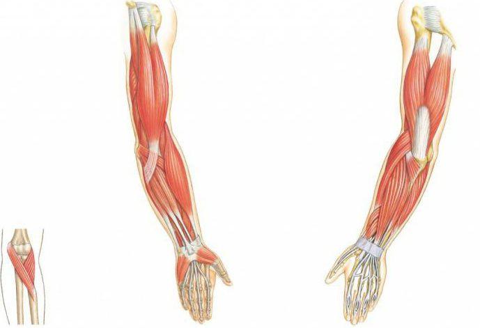 цвет волос строение мышц руки картинка фото крупнокорневой алоказии