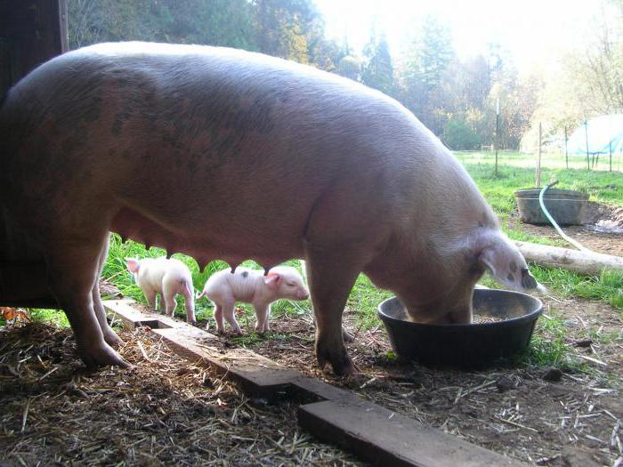 Опорос свиней в домашних условиях: видео 13