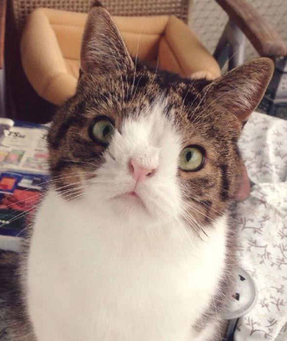 кошка с лишней хромосомой