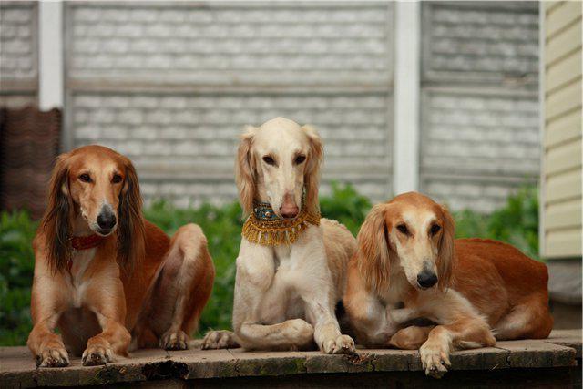 порода собак тазы