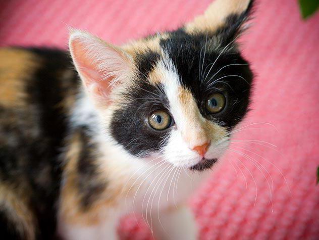 гены окраски кошек расположены в х хромосоме