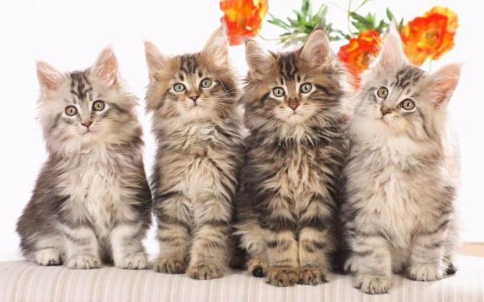 в соматической клетке кошки 38 хромосом