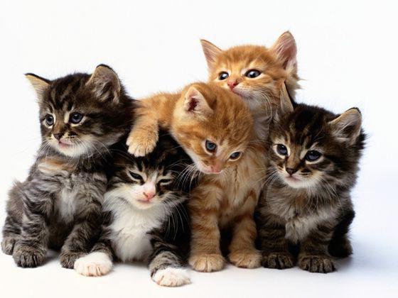 количество хромосом у кошки