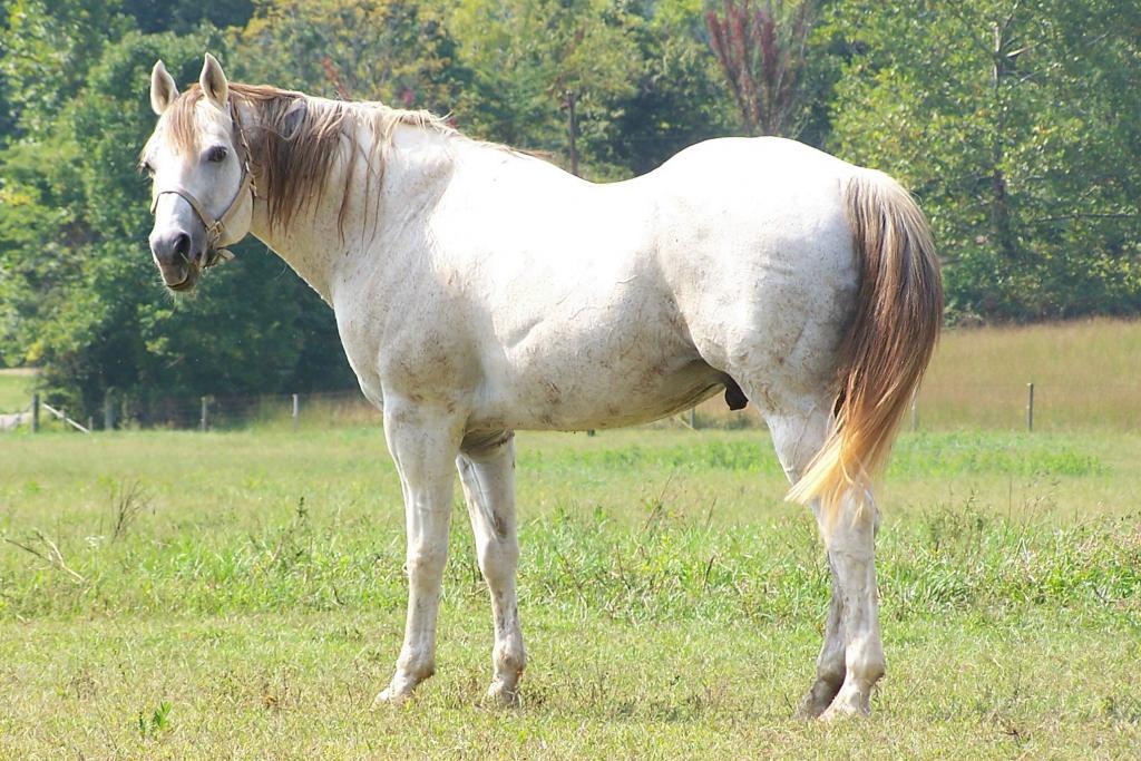 Terek breed of horses