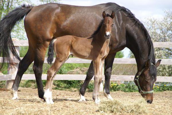 Голландская теплокровная порода лошадей: описание породы