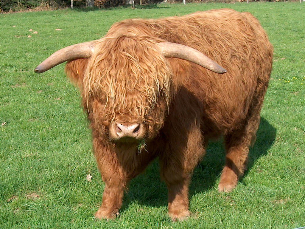 Пушистая корова
