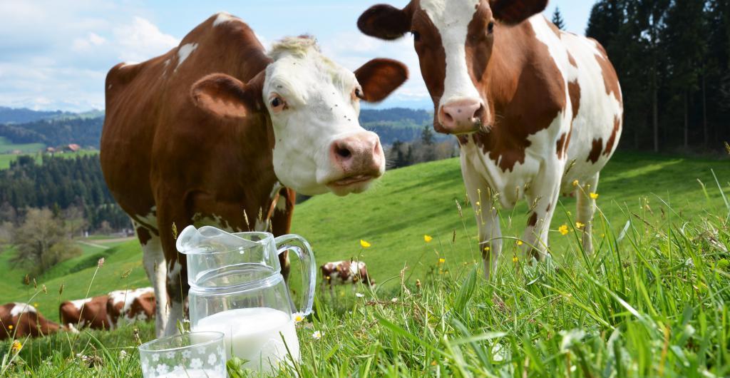 как раздоить корову после первого отела