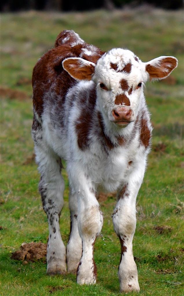 как выращивать бычков