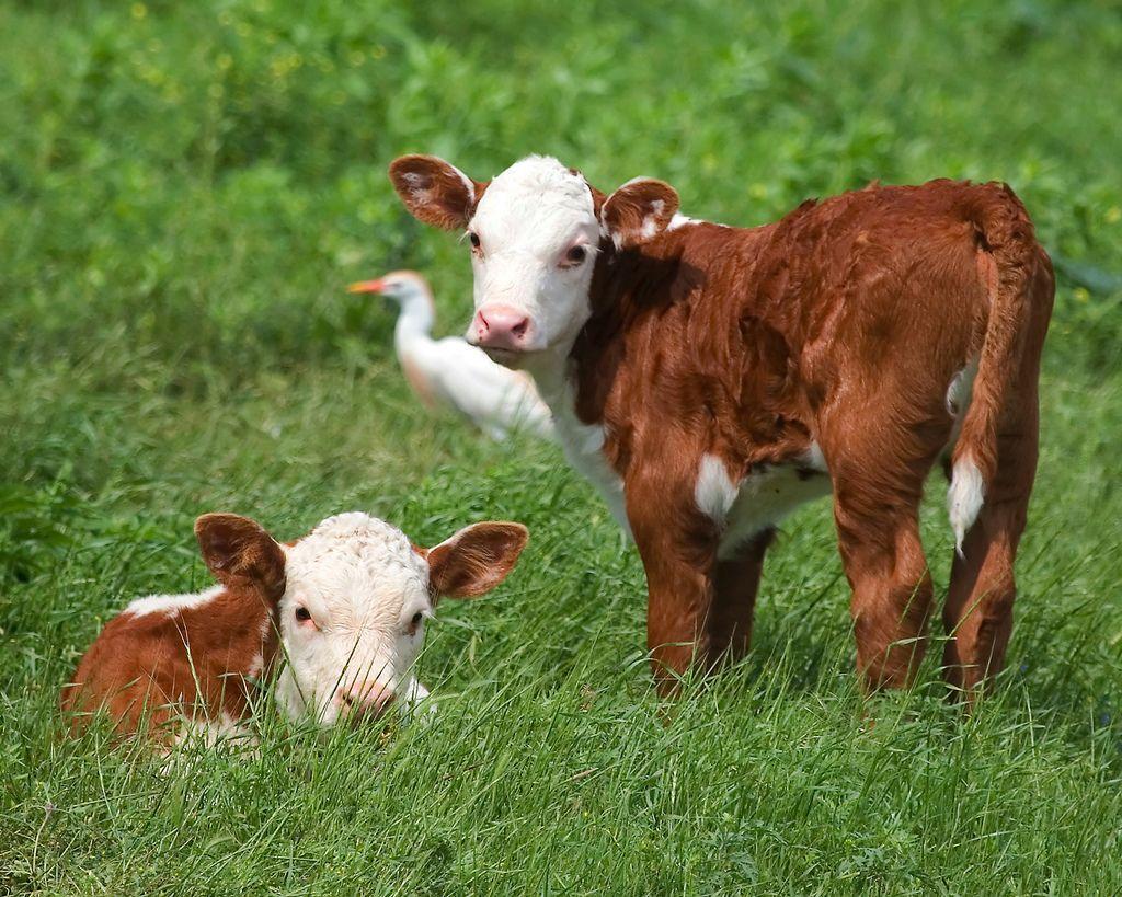 выгодно ли выращивать бычков на мясо