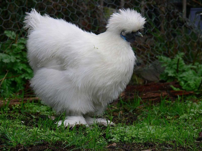 Цыпленок китайской породы