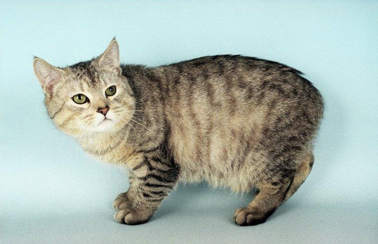 Кошки породы мэнкс: описание породы с фото