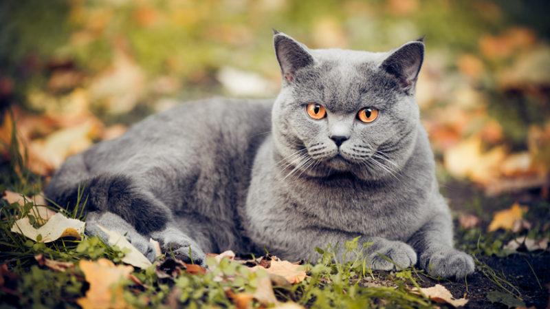 Когда кастрировать британского кота: в каком возрасте