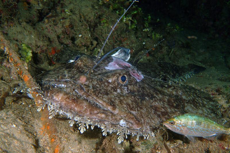 леггинсы, морской черт в японском море фото крайне неприятное было
