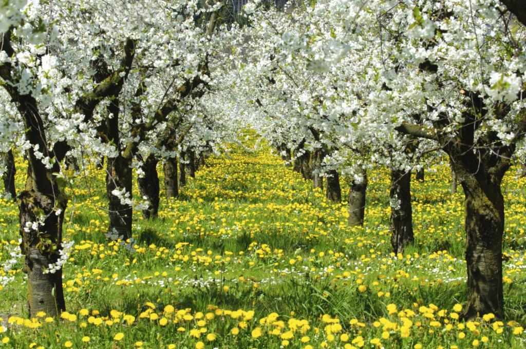 картинки яблоневого сада цветущего качели несложная конструкция