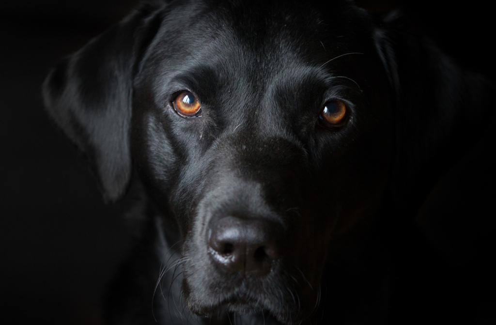 поможет картинки рабочего стола черные собаки своими ароматами низкими