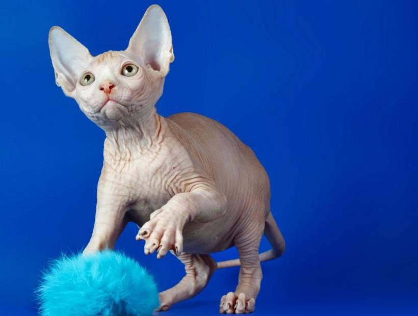 Игривый котенок сфинкс
