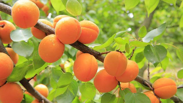 абрикосовые косточки от рака как принимать