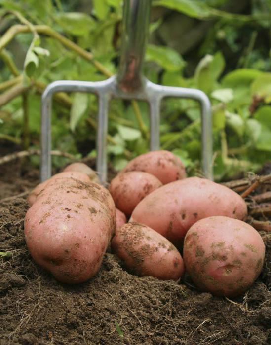 сырой картофель вред
