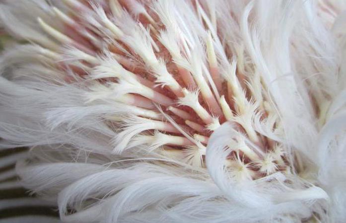 почему у кур выпадают перья на спине