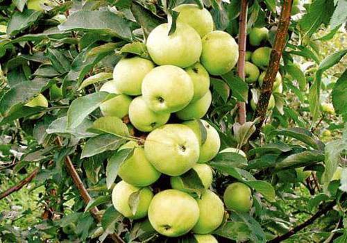 яблоня ксения описание фото