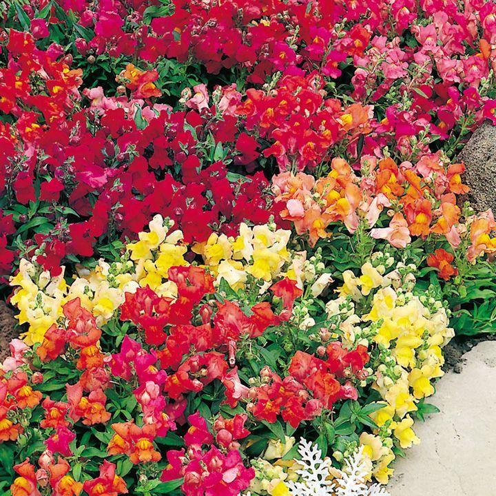 Разные сорта цветка львиный зев