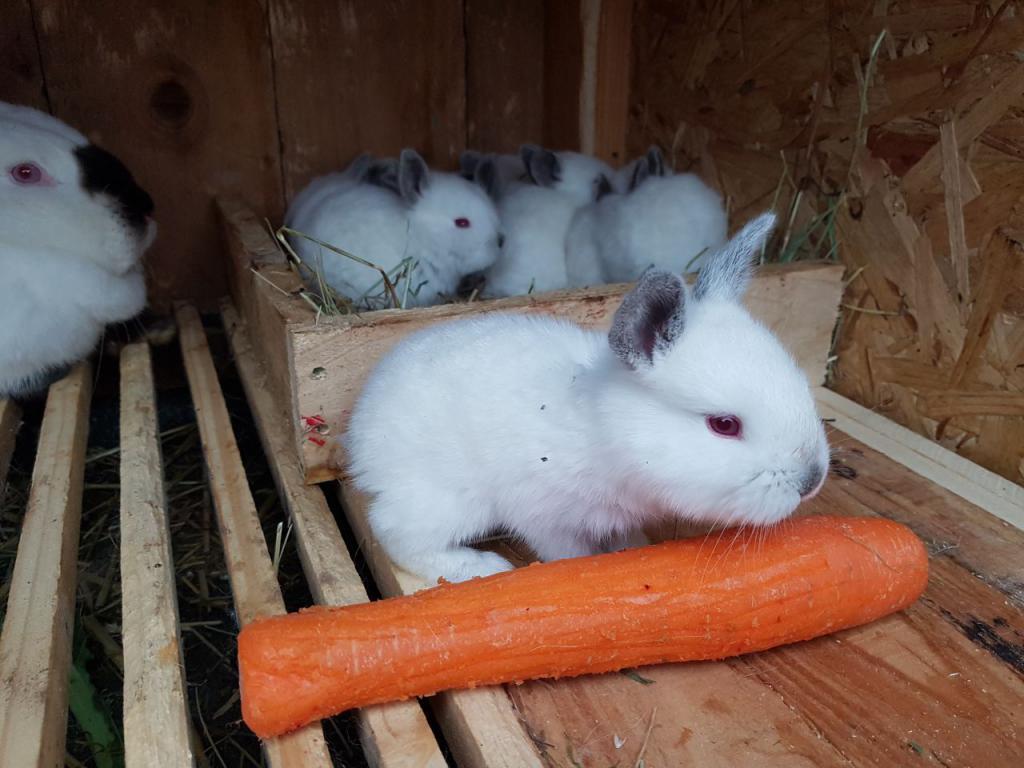 Выращивание кроликов в калифорнийских 531