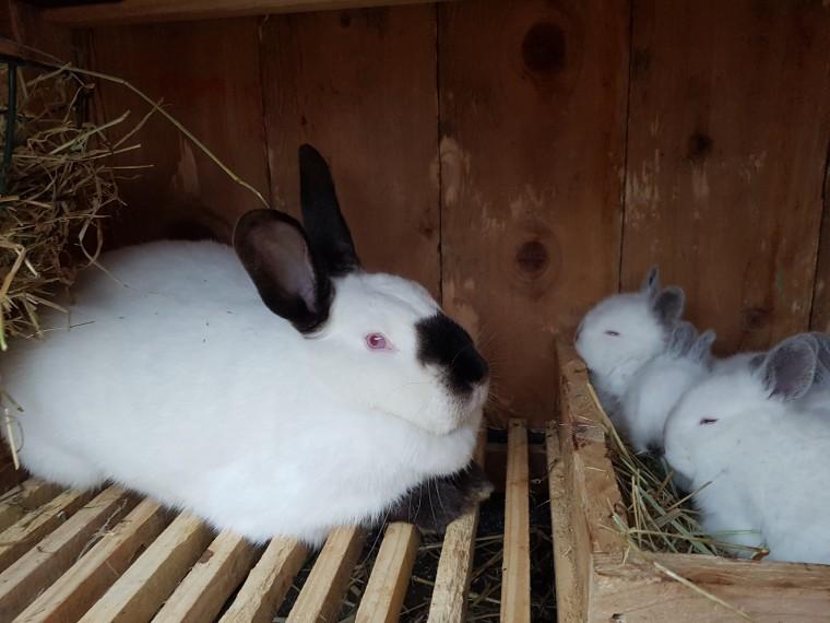 калифорнийская порода кроликов описание с фото участке имеется