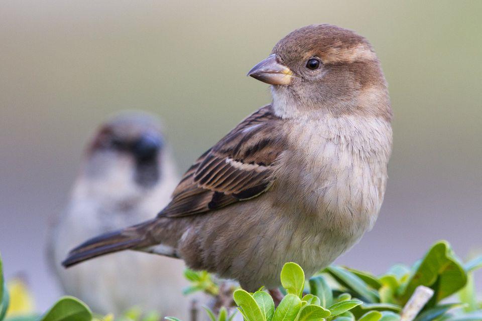 Зимующие птицы Приморского края: воробей