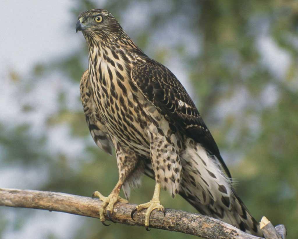Птицы Приморского края: ястреб-тетеревятник