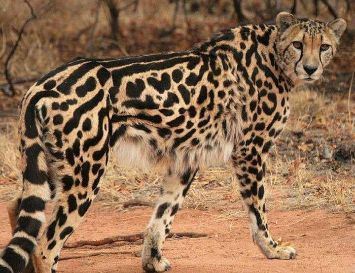 которым картинки королевские гепарды придумала