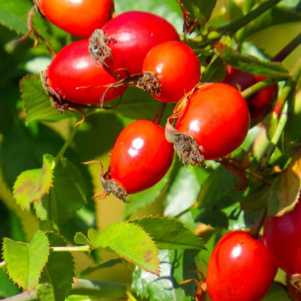 Травы при простуде: шиповник