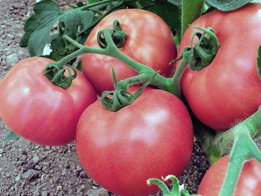 Описание сорта томата Розовые щечки