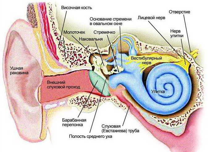 auditory meatus