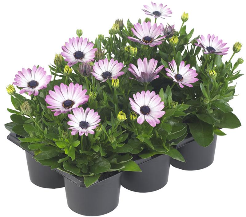 Остеоспермум выращивание из семян в домашних условиях 498