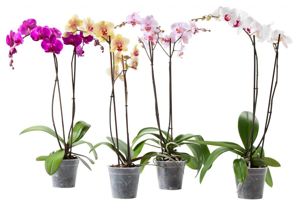 Букеты лилиями, цветы орхидею онлайн купить киев