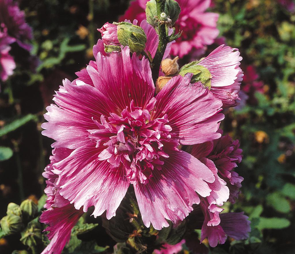 Шток-роза: выращивание из семян, сроки посадки, фото