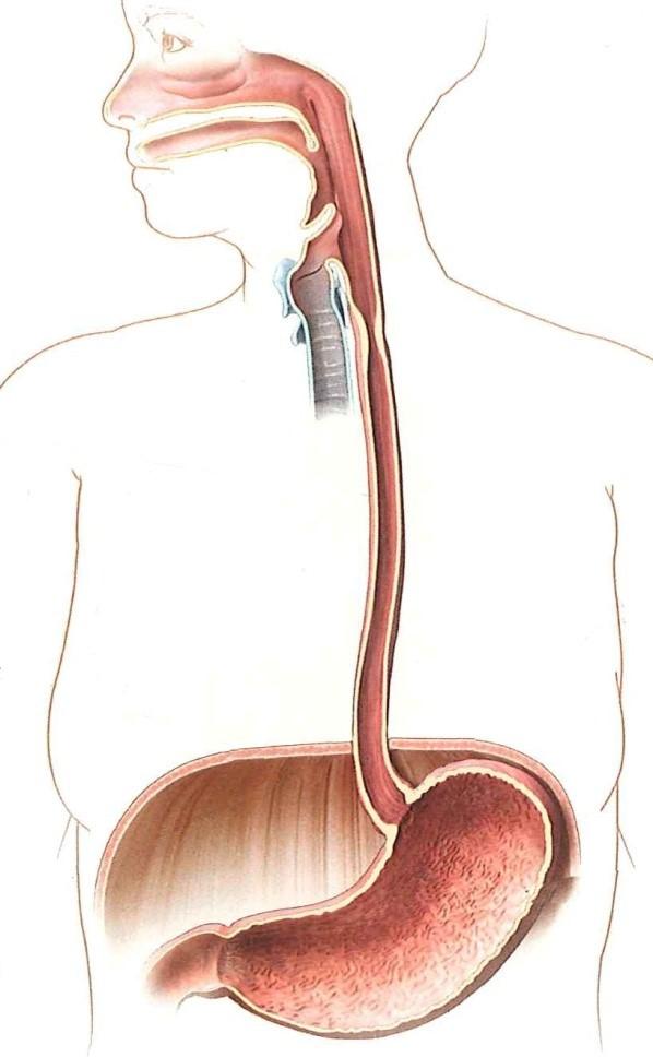 Картинка пищевода желудка
