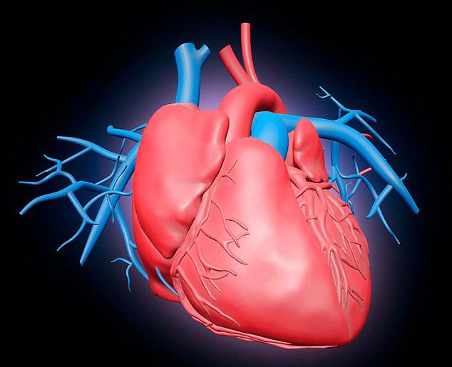 Сердце - самый важный орган