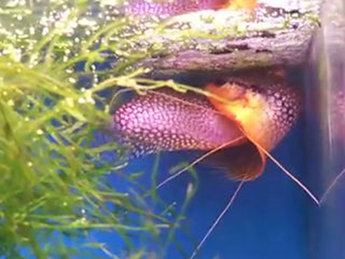 Gourami fish eggs