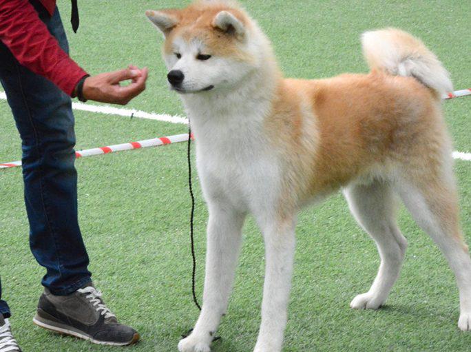 Чем кормить акита-ину, взрослых собак и щенков? Описание породы акита-ину