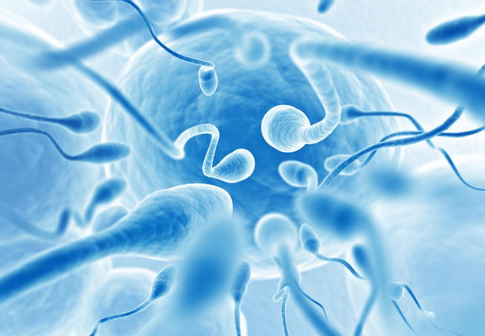 Цикл обновления спермы
