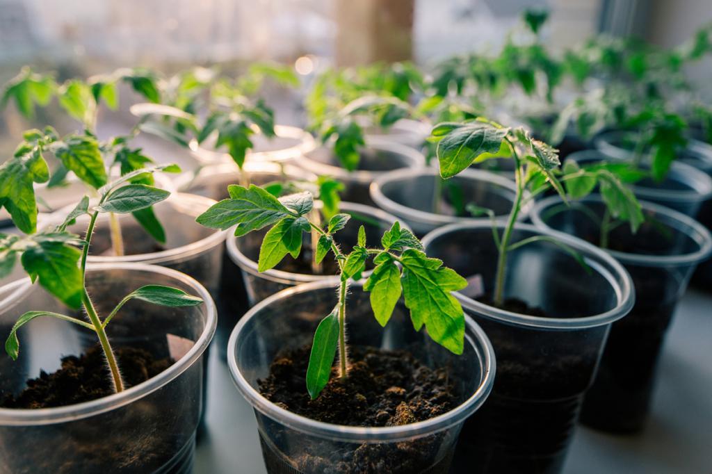 Почему не растёт рассаду 721